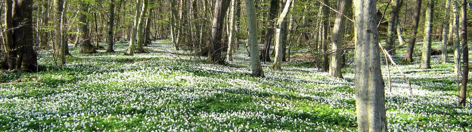 Skovbundens forårstegn er værd at gå efter. Foto Pixabay.
