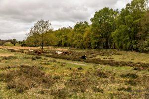 Køerne slapper af ved vandkraftsøen. Foto Hugo Mejer Hansen.