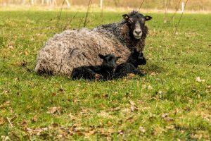 Får får lam om foråret. Foto Hugo Mejer Hansen.