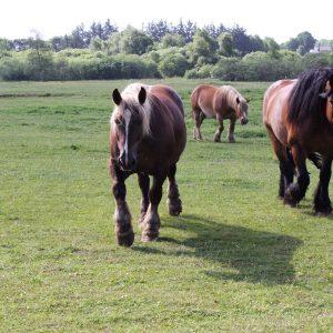 Nysgerrige heste. Foto Grethe Aagaard
