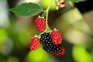 Brombær. Foto Pixabay