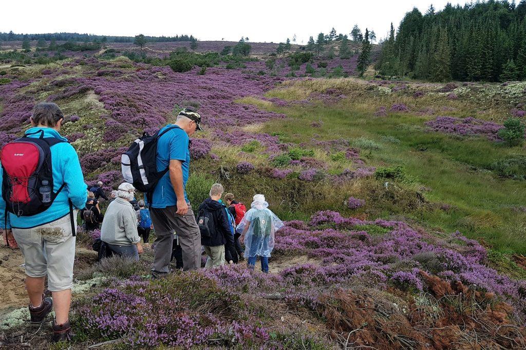 Blomstrende lyng i Stråsø Plantage. Foto Marianne Bach