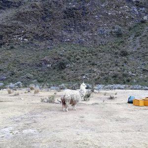 En lama tæt på teltlejren i Peru. Foto Kirsten Brandt.