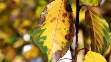 Tørst (frangula alnus) i høstfarver. Foto Sten Porse
