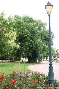 700 år gammelt lindetræ i Bergheim i Alsace. Foto Sten Porse