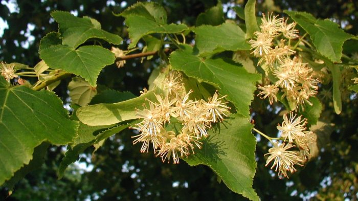 Lindetræ i blomst (Tilia-cordata). Foto Sten Porse