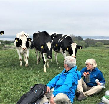 Nysgerrige køer under frokostpause ved Barsø. Bente Michelsen