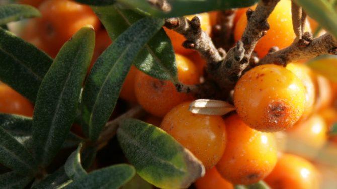 Havtorn (hippophaë-rhamnoides) med modne bær. Foto Sten Porse