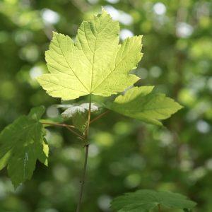 Et ahornblad der vejer i vinden i Vestskoven. Foto Majbrit Søgaard.