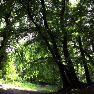 Flere steder langs Mølleåen går man i bøgeskov, der strækker sig op langs stejle skrænter.