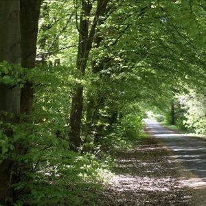 Bøgetræerne på Bymosevej i Vestskoven danner en hyggelig stemning. Foto Majbrit Søgaard.