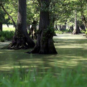 Man kommer forbi meget ellesump på ruten, men i Dyrehaven findes et meget smukt område med gamle elletræer, der danner en mangroveagtig sump.
