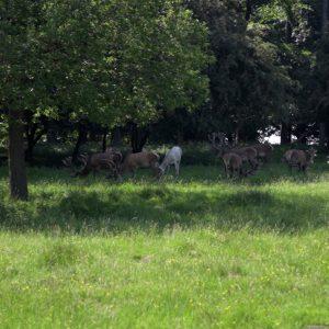 Kronhjorte græsser i Dyrehaven, hvilket er med til at holde skoven lysåben.