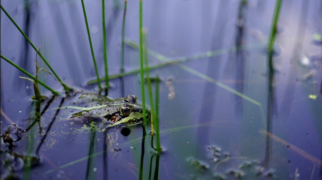 Kvæk kvæk. Der er masser af frøer i den første sø, som man kommer forbi på ruten.
