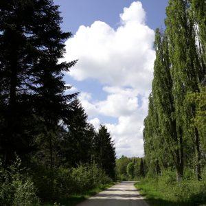 Nåletræer og popler i Vestskoven. Foto Majbrit Søgaard.