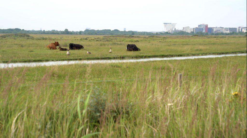 Kvæg, gæs og skyline. Naturpark Amager byder på kontraster.