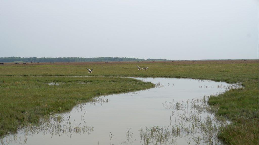 Overdrevenes stedvise vådområder er trækplaster for fugle.
