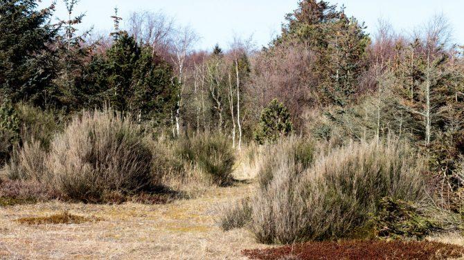 Sekundær succession er nået til overgangen mellem fase 3 og fase 4. Her ses unge birketræer. Foto Sten Porse