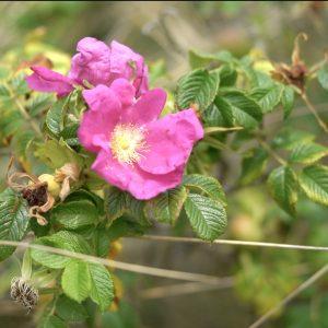 Rynket rose er smuk trods at den er invasiv.