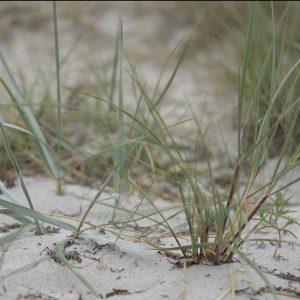 Strandhjælme har et stort og dybt rodnet, så det er en god plante til kystsikring for at undgå sandfygning.
