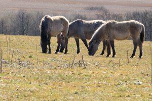 Vild heste
