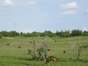 Køer og deres kalve