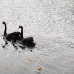 2 sorte svaner i Letbæk sø