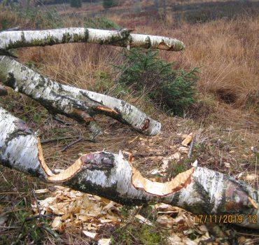 Et eksempel på hvad bæverne kan med tænderne i Klosterheden. Meget større træer er heller ikke et problem for dem.