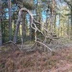 DVL Vandretur 250421 Blåbjerg Plantage. Sjovt træ.