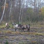 Vilde heste ved Bøtø. Foto Steen Henriksen