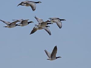Flyvende bramgæs. Foto Lene Thomsen
