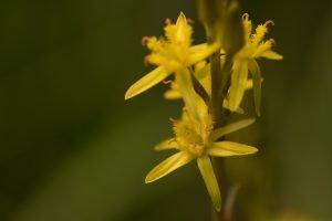 Benbræk blomsten