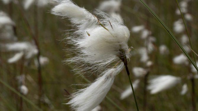 Smalbladet Kæruld