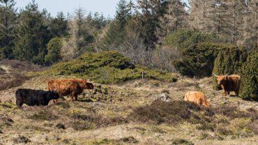 Græssende Skotsk Højland