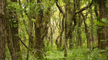 Tevring Krat i Lovrup skov