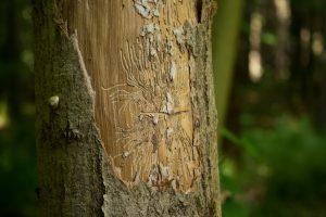 Et naturligt angreb fra barkbiller.