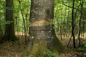 Dødsdømt træ.