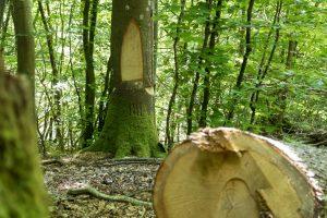 Veteraniseret træ.