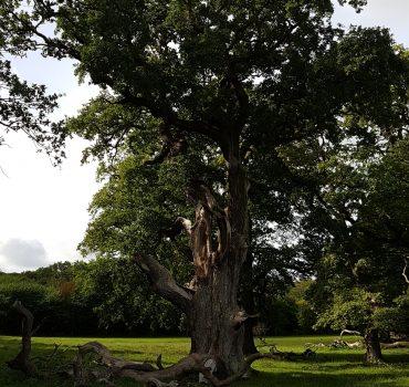 Chr. den 5. egetræet